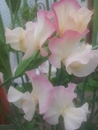 Highly Scented Sweetpea Collection