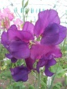 Recently Introduced Sweetpeas