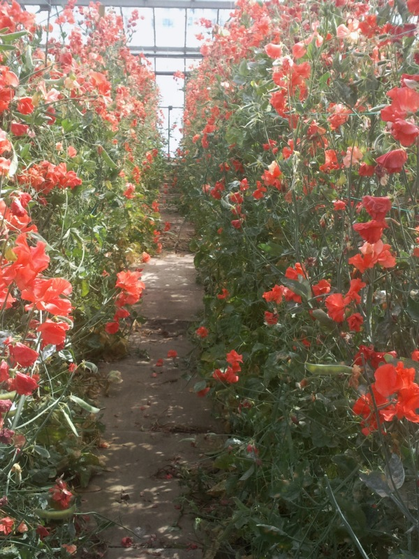 A spectacular  display of Clementine Kiss growing at the nursery