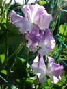 Lilac Ripple